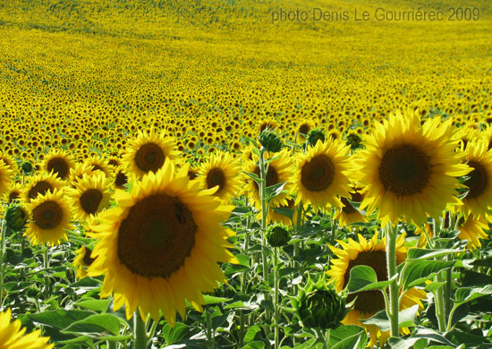 sunflower field in france  provence