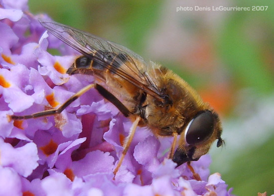 hoverfly close up