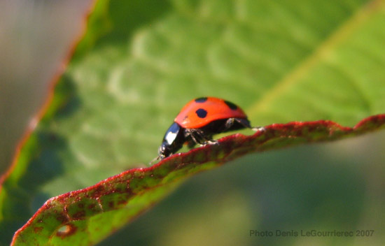 lady bird close up