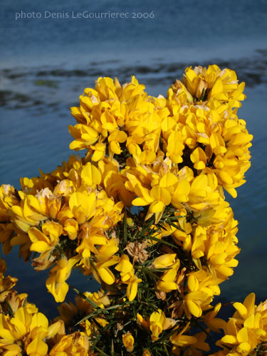 gorse bloom