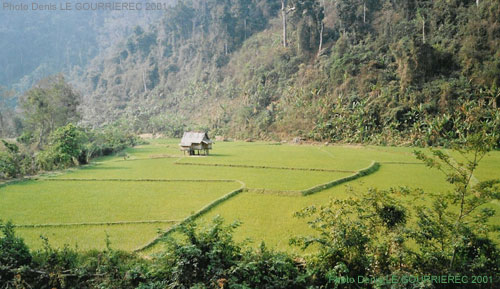 laos rice field