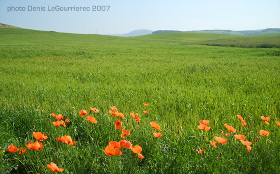 poppies coquelicots