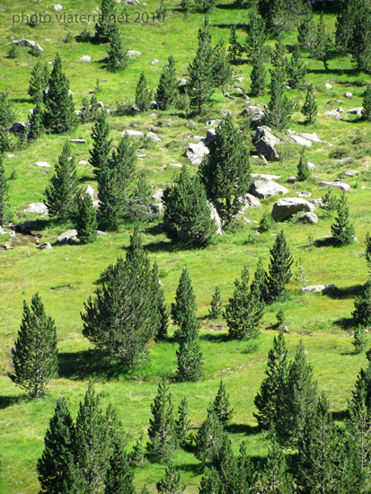 pine trees meadow pyrenees