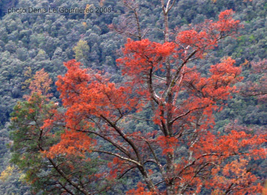 autumn colours tree montseny