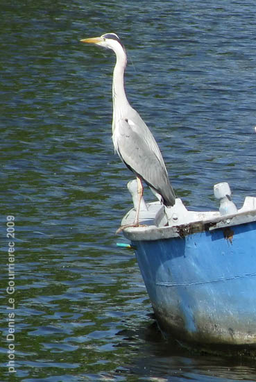 heron on a small boat