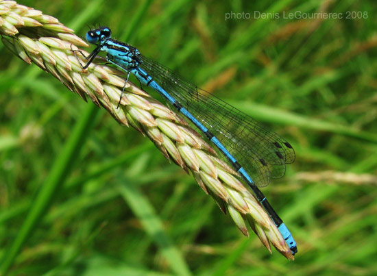 damselfly with blue wings