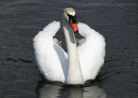 swan in galway