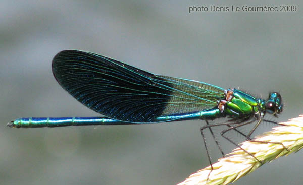 blue winged damselfly
