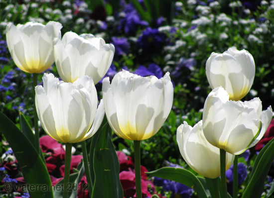 white tulips - tulipes blanches